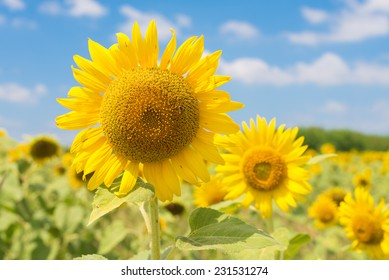 Nature Landscape With Yellow Sunflower field