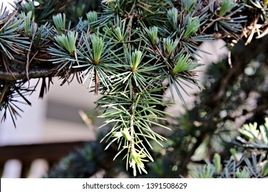 Nature macro single branch blue atlas cedar tree new tender growth of needles vibrant green colors texture background