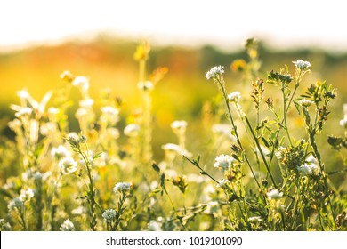 Nature. Meadow flowers in sunny field in spring
