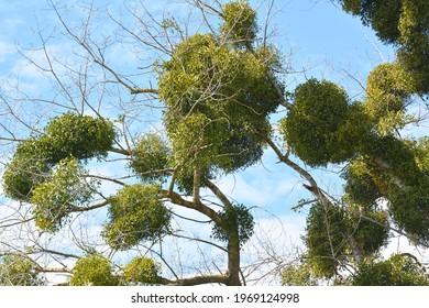 In nature, mistletoe (Viscum album) parasitizes on the tree