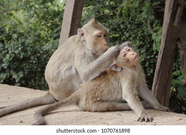 The nature of the monkey, gray monkeys scratch each other. The monkey looks for fleas.