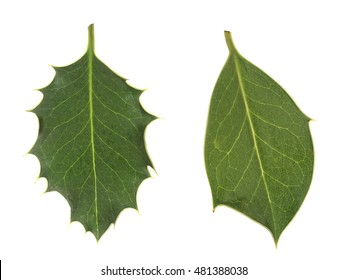 Nature, natural diversity. Smooth and prickly holly leaves. Epigenetic modifications, methylation.