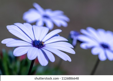 Nature outdoor color macro image of a wide open blue blooming cape daisy / marguerite blossom with a bee on a natural blurry background taken on a bright sunny day