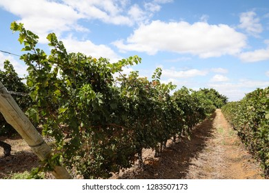 Nature. Parreiral. Vitis vinifera L. Planting grapes in the valley of the São Francisco River, Petrolina, Pernambuco, Brazil.