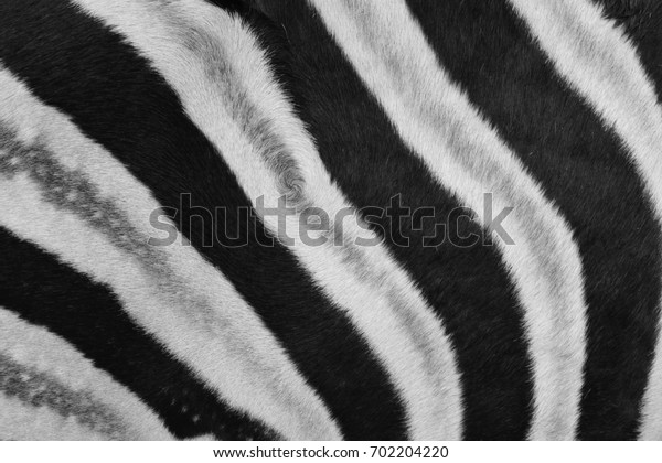 Nature pattern of black and white striped from zebra skin.