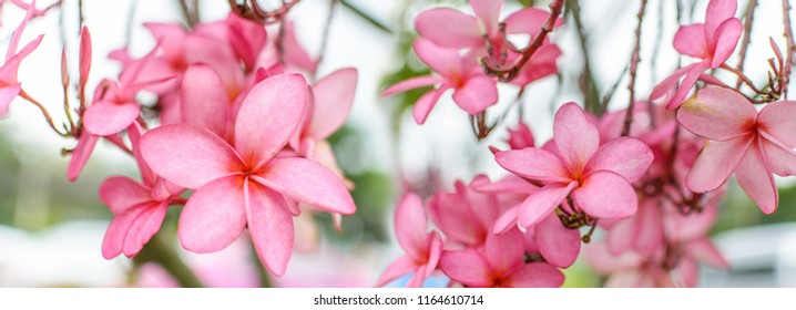 Nature pattern of blossoming color exotic rose pink Frangipani flower on soft green color in blur style for cards. Spring landscape of Pink Plumeria flower. Panorama of Bright colorful spring flowers