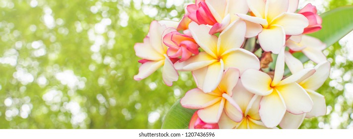 Flower close up images stock photos vectors shutterstock nature pattern of blossoming color exotic yellow and pink frangipani flower on soft green color in mightylinksfo