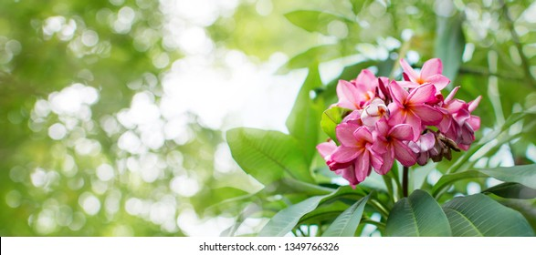 Nature pattern of blossoming color exotic rose pink Frangipani flower on soft green color in blur style. Spring landscape of orange Plumeria flower. Close up Bright spring flowers for spa and therapy