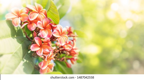 Nature pattern of blossoming color exotic orange Frangipani flower on soft green color in blur style. Spring landscape of yellow Plumeria flower. Close up Bright spring flowers for spa and therapy