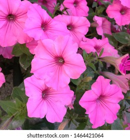 A nature photo is a beautiful petunia flower.  Plant Petunia flower with blooming pink petals. Pink Petunia flower with  open buds