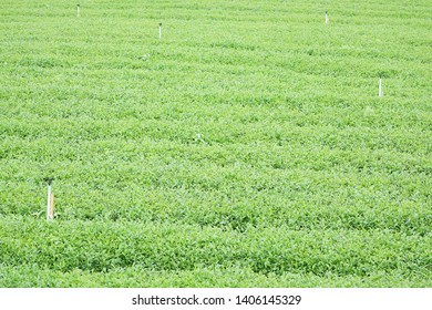 Nature photograph of authentic organic green tea leaves farm business background with row of irrigation sprinkler in Chiang Rai province Northern path of Thailand.