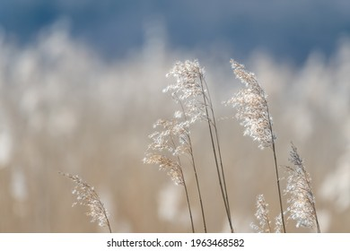 Nature photography, straw of reeds in sunlight, in spring time. Bright blurred, bokeh, background with place for text, copy space.