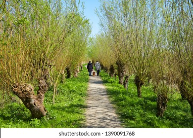 The nature reserve of the 'Johanna'polder and 'Rhoonse Grienden' are a willow flood forest in early spring in the province of 'Zuid-Holland', near Rotterdam, the Netherlands