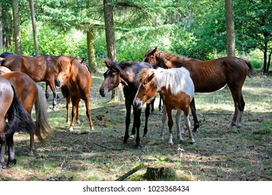 Nature reserve kampina, boxtel, noord brabant, netherlands, horses in the forest