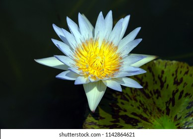 Nature Scene Blue Star Lotus flower or Nymphaea nouchali or Nymphaea stellata is a water lily of genus Nymphaea.