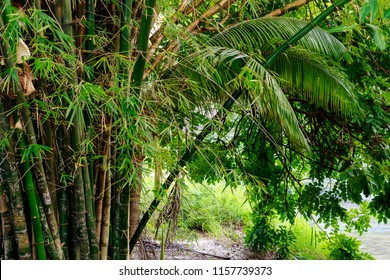 Nature scene from Isla Cuale by the Cuale River in Puerto Vallarta Mexico featuring jungle environment with bamboo and fauna on riverside.
