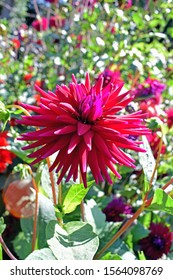A nature scene of a Isolated Spikey Dahlia growing in the garden among the leaves and other flowers