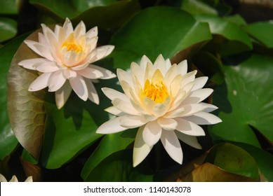 Nature Scene light pink Star Lotus flower or Nymphaea nouchali or Nymphaea stellata is a water lily of genus Nymphaea.