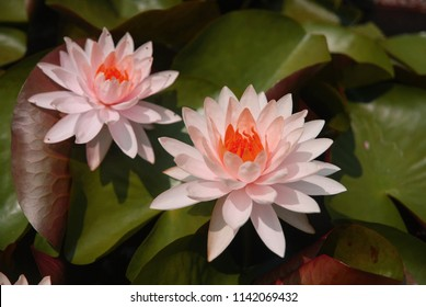 Nature Scene pink Star Lotus flower or Nymphaea nouchali or Nymphaea stellata is a water lily of genus Nymphaea.