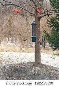 Nature Scene with Squirrel, Northern Flicker & Cardinals Flying