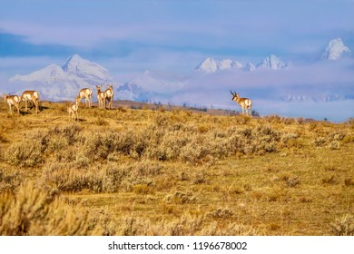 A nature scene in Wyoming, with a herd of pronghorn roaming through sagebrush, with snow-covered Teton mountains in the background. The pronghorn is a unique species, indigenous to North America.