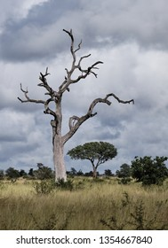 Nature shot on a leafless dead tree, with sinuous branches in dry grass plain against a stormy cloudy sky