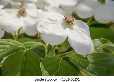 Nature Spring Background - White Dogwood blossom closeup - selective focus - beautiful and delicate
