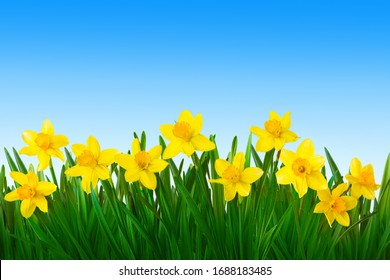 Nature spring background with Yellow daffodils flowers on blue sky background. Border of daffodils flowers. Beautiful Wallpaper or Web Banner With Copy Space for design