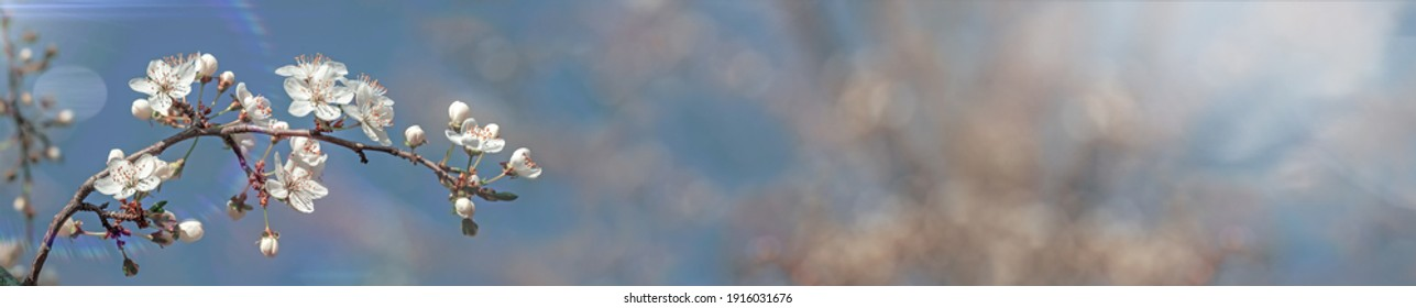 Nature spring picture. Beautiful panoramic poster of cherry tree buds and flowers on sky blue background close up macro. Awesome nature floral spring web banner.