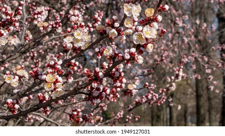 Nature in Springtime. Branch with beautiful white Spring Apricot Flowers on Tree. Nature scene with flowering apricot on blossom background. Botanical bloom concept. Blooming backdrop - Shutterstock ID 1949127031