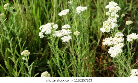 Nature in summer, wild flowers in meadow. Achillea Millefolium, White Yarrow, Common Yarrow