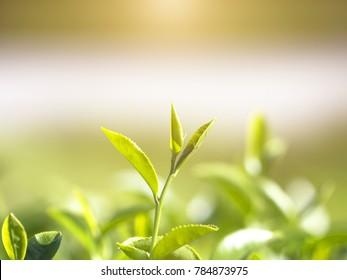 nature tea leaves background