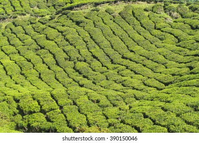 Nature  tea plantation view near the mountain with beautiful blue sky at Cameron Highlands, Malaysia. Nature composition.