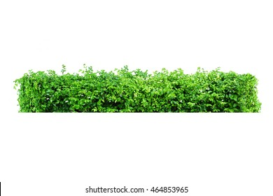 nature tree bush isolate for retouch the fence around the house and garden.