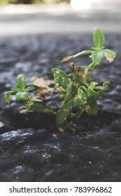 Nature versus man; weeds growing through cracked pavement