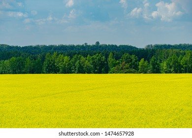 Nature view of bright yellow oilseed rape field. Rapeseed field under the blue sky on dark green forest background. Copy space for text using as natural background, flowers landscape, ecology concept