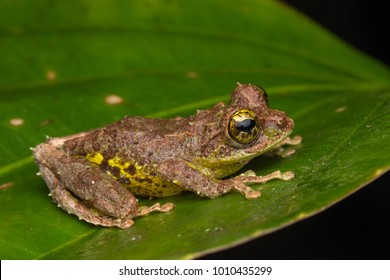 Nature view of Mossy frog of Borneo, Close-up of beautiful frog of Borneo