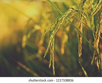 nature view of rice field in summer