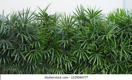 Nature wall of Lady palm tree or bamboo palm which in front of white color cement background wall for represent mood and tone of tropical asia jungle and refreshing feeling