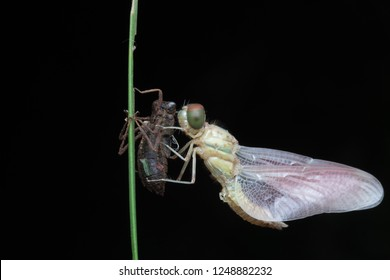 nature wildlife of dragonfly moulting over black background at night.Macro photography.