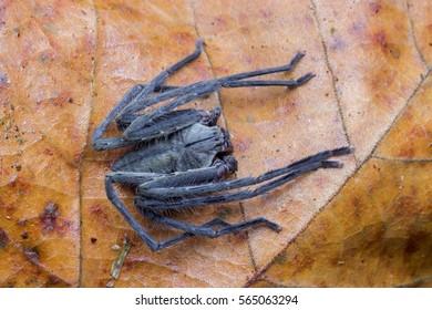 nature wildlife of huntsman spider on the brown leaf