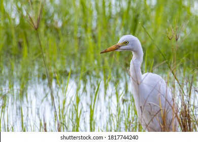 Nature wildlife image of Great Egret bird walk on paddy field