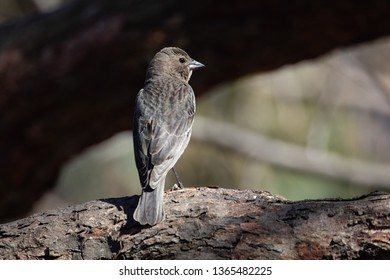 Nature Wildlife Passerine Birds House Sparrow Closeup Eye Catch Light