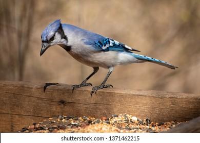 Nature Wildlife Passerine Birds House Blue Jay Eye Catch Light