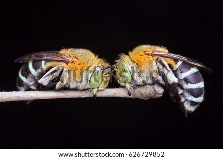 nature wildlife of two Cuckoo bee at night