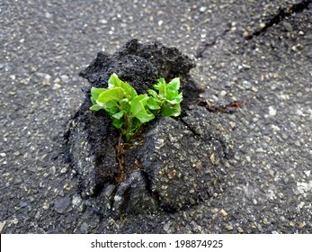 Nature Wins. Tree vs asphalt / outdoors photography of small sprout making the way through firm asphalt