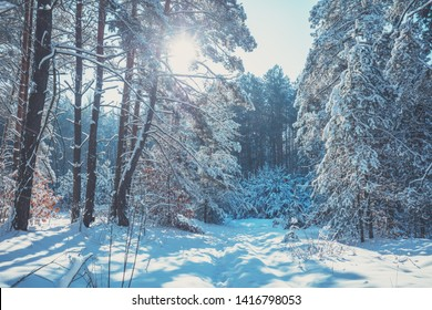 Nature winter background.  Snowy forest.  Pine trees covered with snow. Winter nature. Christmas background.