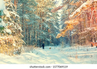 Nature winter background.  Snowy forest.  Pine trees covered with snow. Winter nature. Christmas background. A human walks with a dog