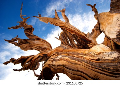 Natures art - Closeup view of ancient Bristlecone Pine Tree showing the twisted and gnarled features
