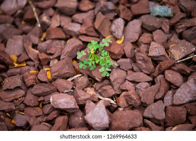 Nature's Persistence - Green Shamrocks Poking Through Red Rocks and Stones